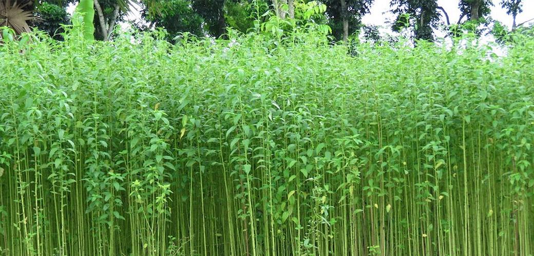 jute plant