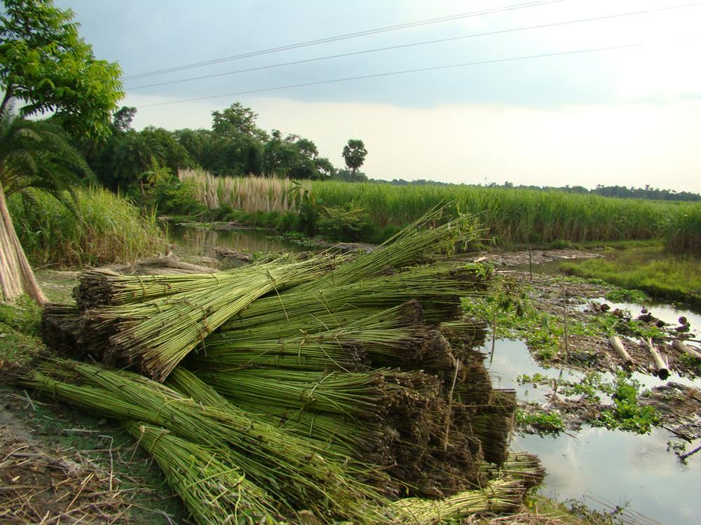 Harvesting natural jute