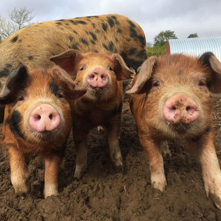 Meeting the pigs at leigh farm the old english pig company